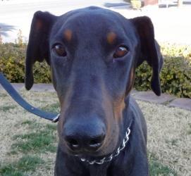 Adopt Chester On Doberman Pinscher Big Dog Little Dog Doberman