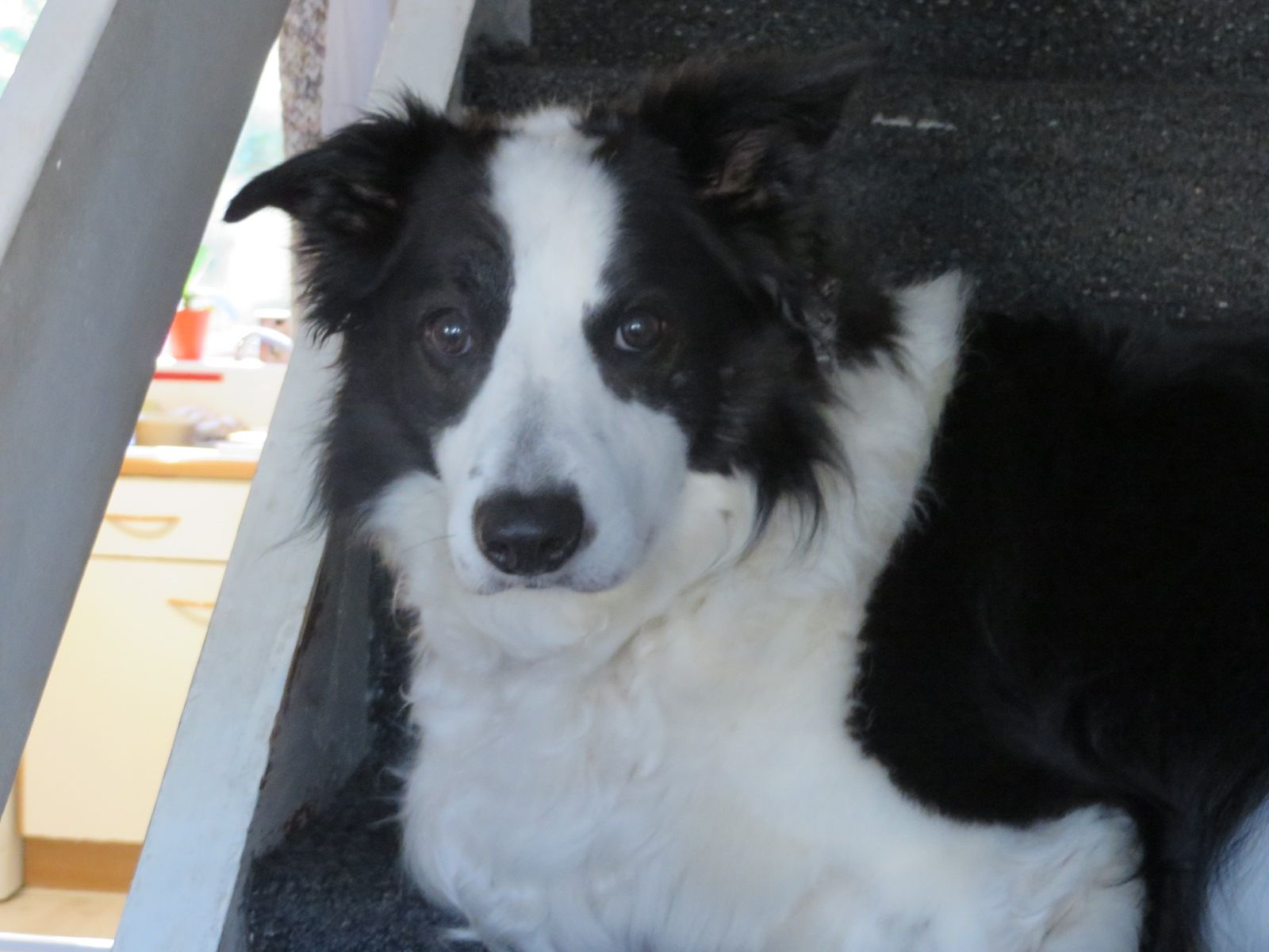 Pin By Amy Northwood On Buddy The Border Collie Border Collie