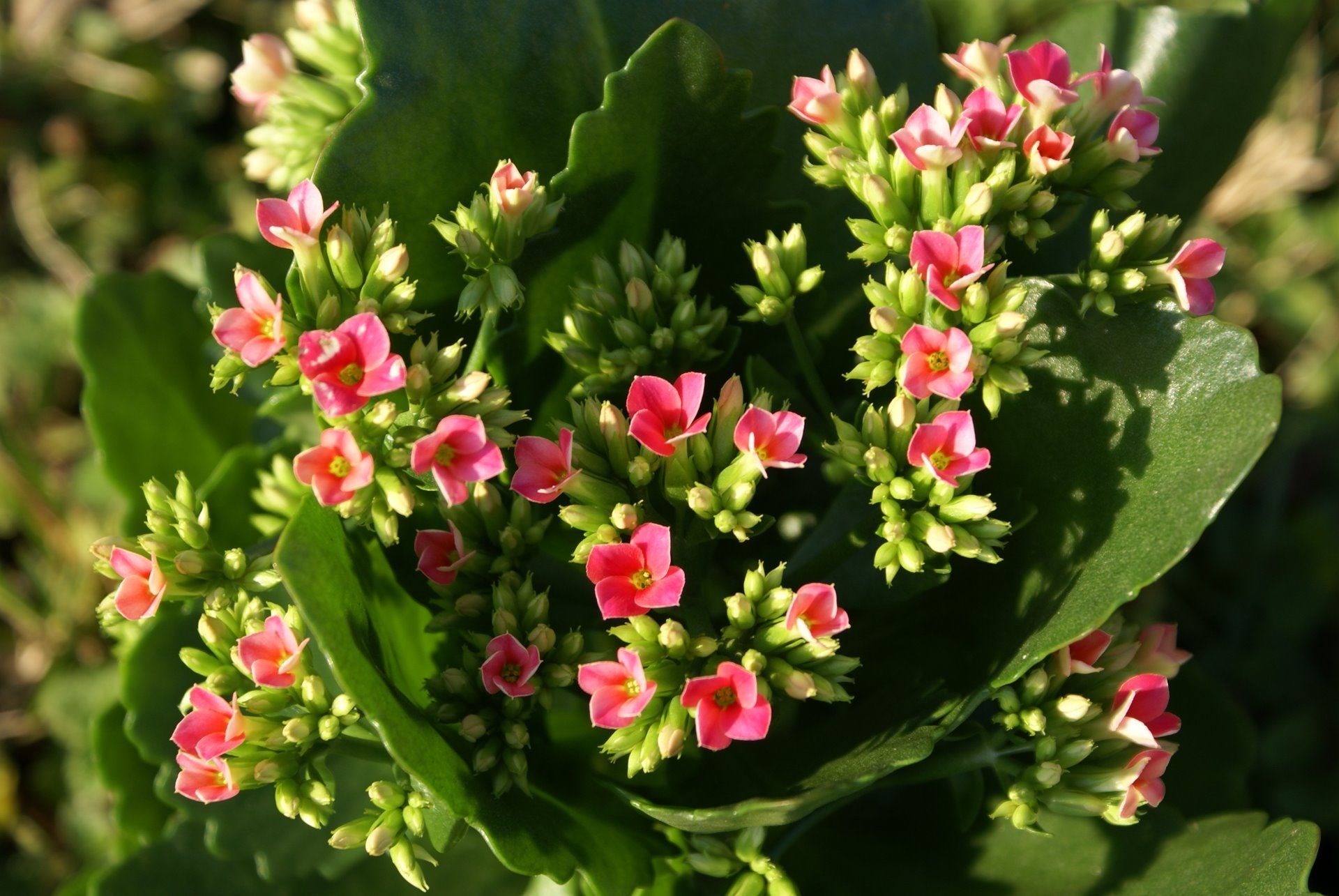 Kalanchoe how to care for christmas kalanchoe garden of kalanchoe how to care for christmas kalanchoe izmirmasajfo