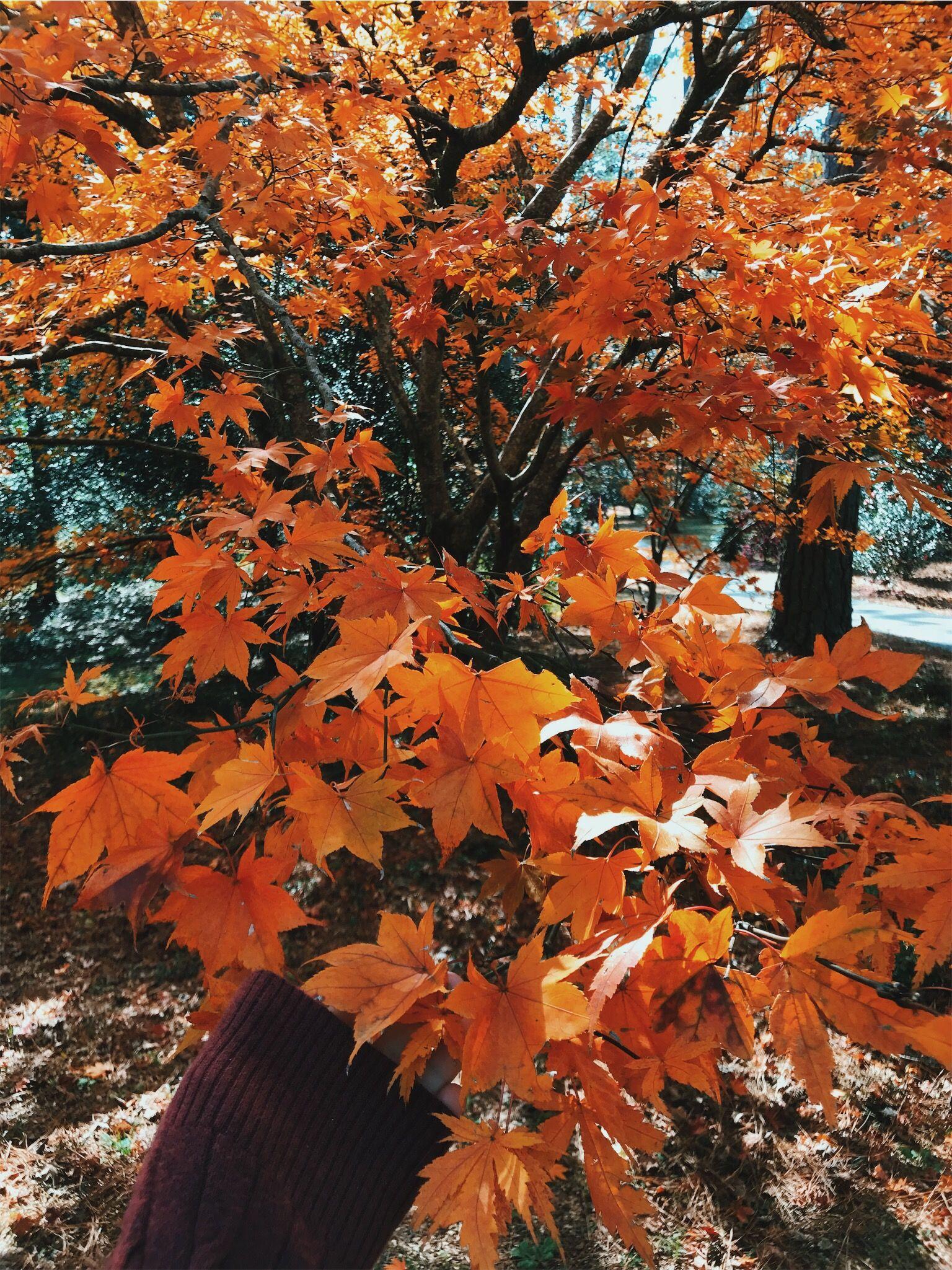 Fall Leaves Trees Vsco Autumn Trees Autumn Leaves Fall Feels