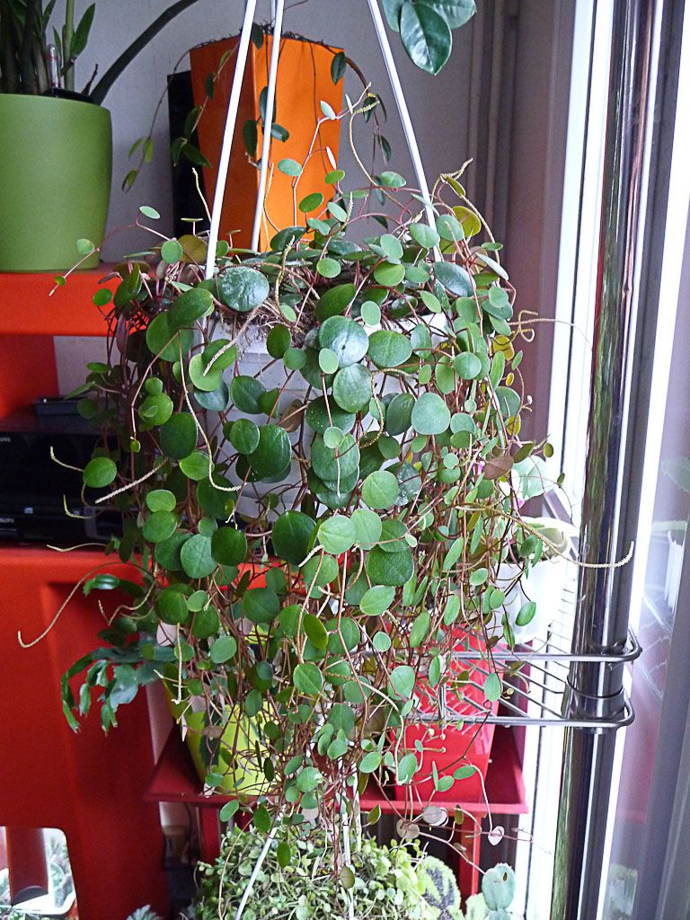 Peperomia Pepperspot With Images Peperomia House Plants Plants