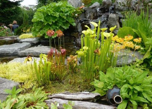 Pin By Daisy S Cabinet On Water In The Garden Bog Garden Pitcher Plant Plants