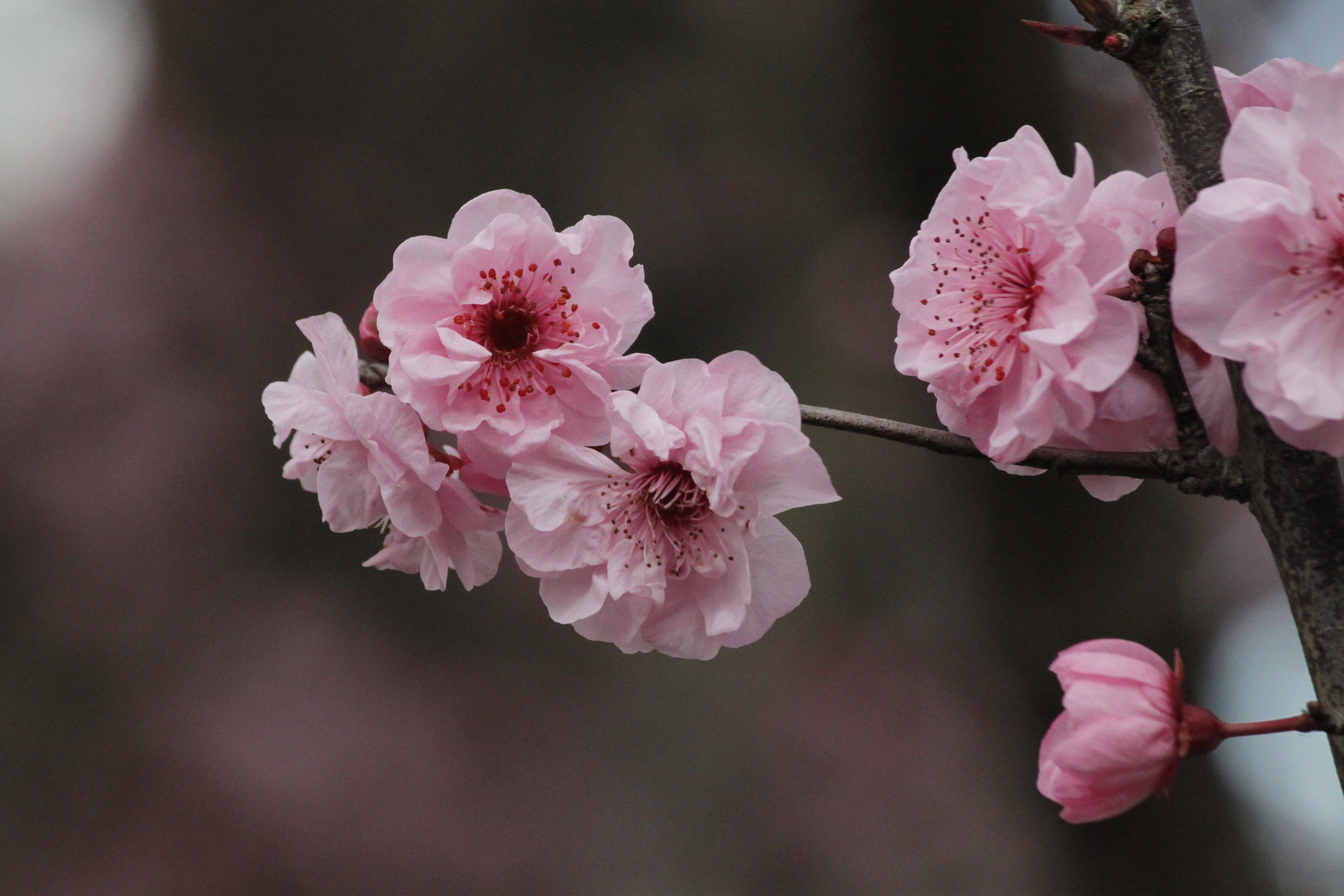 I Love Cherry Blossoms Spring Is The Best Time Of The Year Whats Your Favorite Flower Pinkcos Pinkcosmet Japanese Cherry Tree Pink Cosmetics Pink Blossom