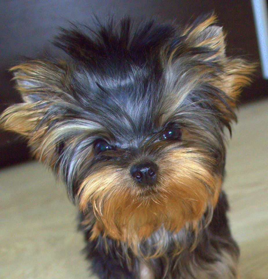 Fully Grown Black And Tan Yorkshire Terrier