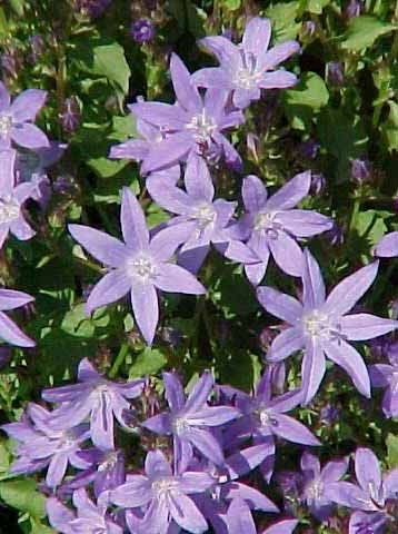 Looking for plants that are deer and drought resistant, plus butterfly and hummingbird favorites? Check out Campanula poscharskyana (Serbian Bellflower) with lavender-blue, star shaped flowers on leafy trailing stems blooming from August to frost in sun to part shade. Available at Westport Winery Garden Resort daily 11-7.