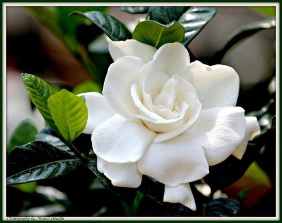 A Hello Beautiful Series Post Of The Gardenia Flower Landscape Fragrant Garden Beautiful Flowers