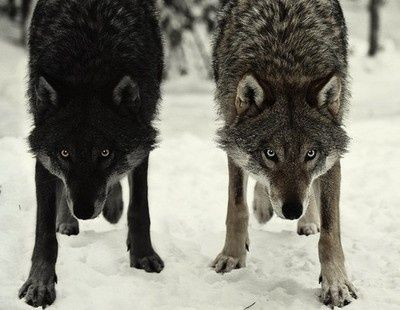 The wolves. - the animism they meet can have two wolves (or something else) that are his special partners. One should be black and one should be white.