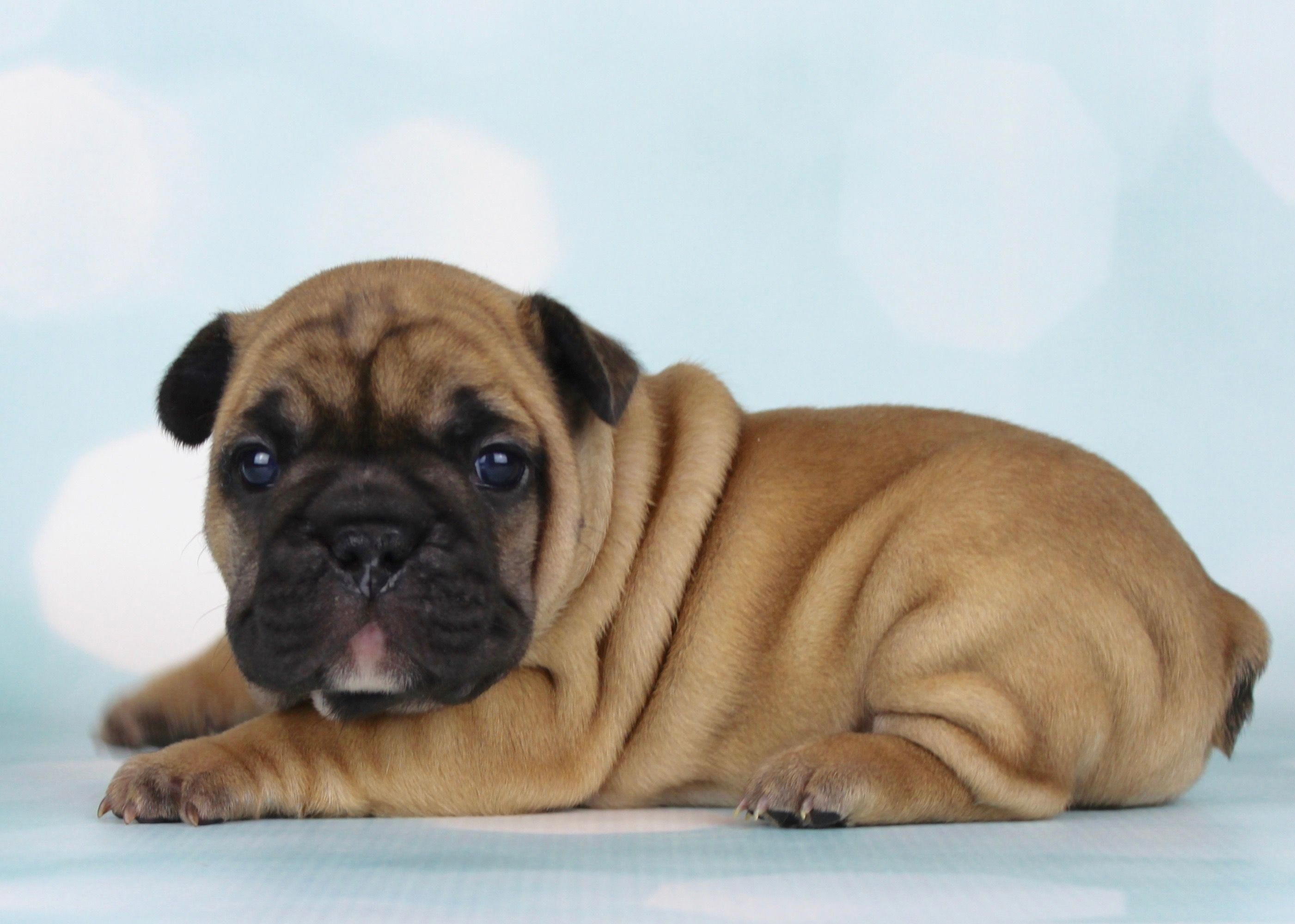 French Bulldog puppy - Walter #FrenchBulldog#Frenchie#Frenchies#frenchbulldogs#bluefrenchbulldogpuppy#puppies#Blue#FrenchBulldogPuppiesforsale#cutedogs#cutepuppies#cutefrenchbulldog#bulldogsforsale #frenchbulldogblue #walterthefrenchbulldog French Bulldog puppy - Walter #FrenchBulldog#Frenchie#Frenchies#frenchbulldogs#bluefrenchbulldogpuppy#puppies#Blue#FrenchBulldogPuppiesforsale#cutedogs#cutepuppies#cutefrenchbulldog#bulldogsforsale #frenchbulldogblue