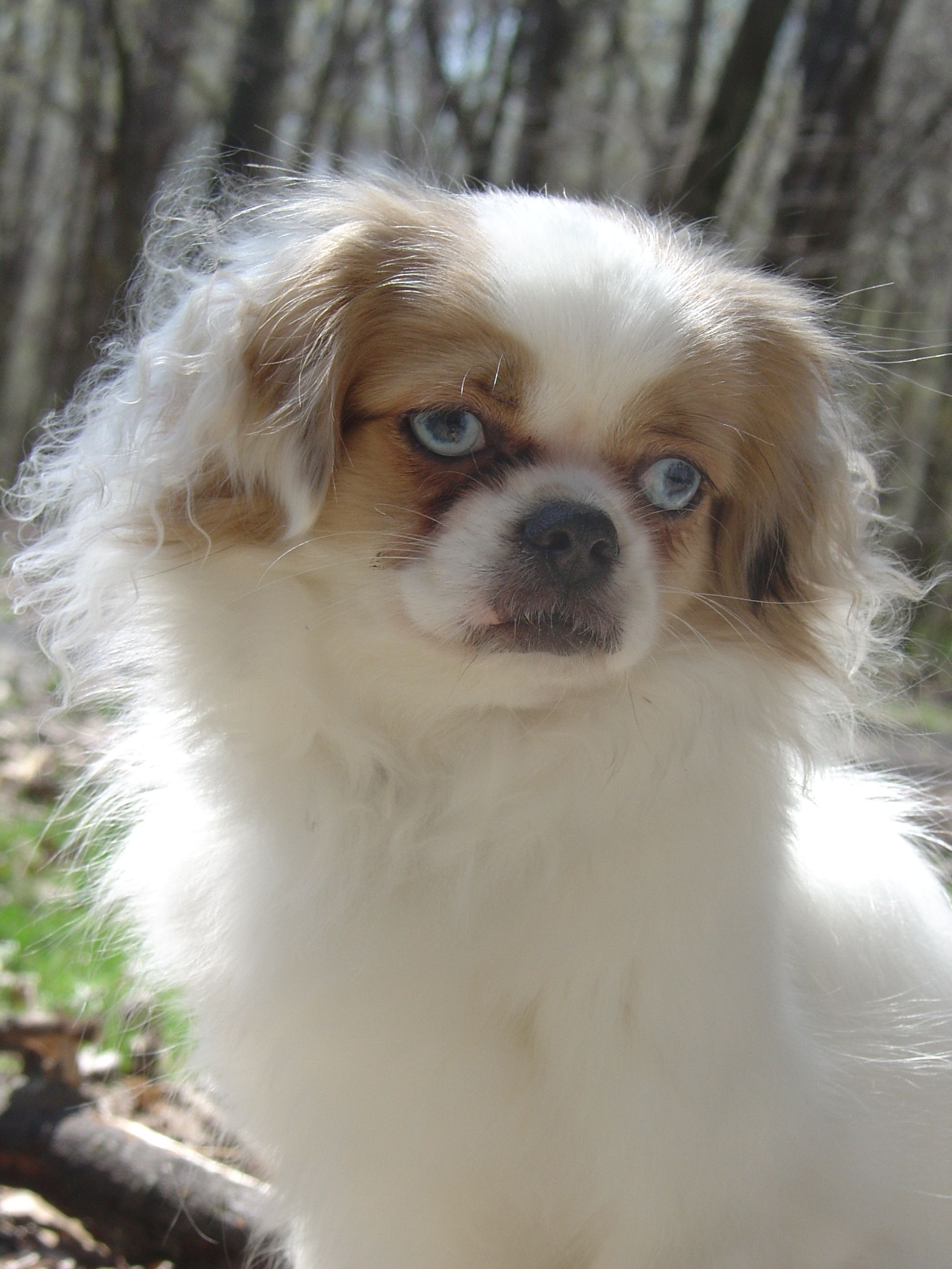 Skylar Tibetan Spaniel Dog Art Portraits Photographs