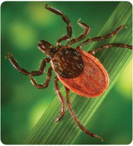 Lyme Disease:  A Parkinson's Imitator?