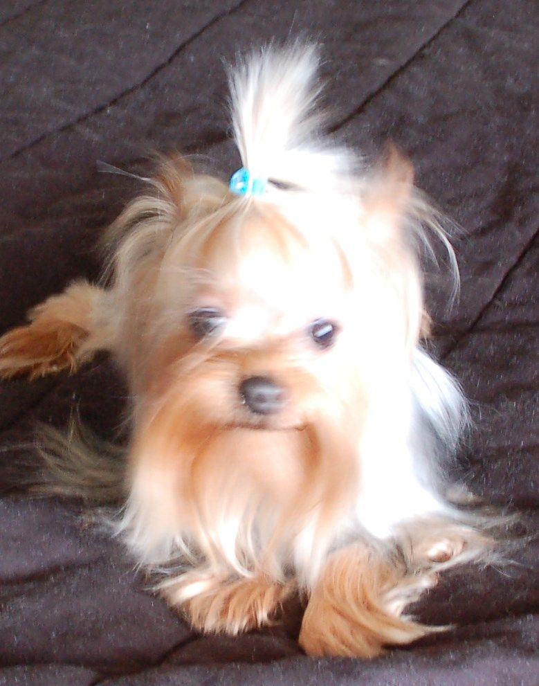 7 month old female yorkie Yorkie puppy for sale, Teacup