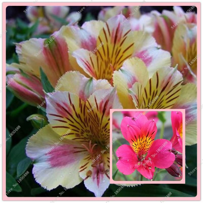 Visit To Buy 20pcs Bag Alstroemeria Seeds Peruvian Lily Alstroemeria Inca Bandit Princess Lily Bonsai Flower See Flower Seeds Bonsai Flower Peruvian Lilies
