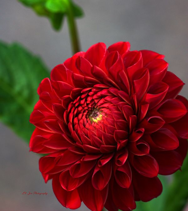 Small Red Dahlia By Jeanette C Landstrom Flower Pictures Dahlia Flowers
