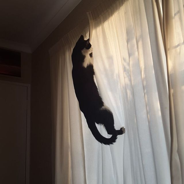 Caught in the act. Apparently Gizmo thought he could catch the bird through the curtain. An impressive acrobatic feat really. #cat #cats #catsofinstagram