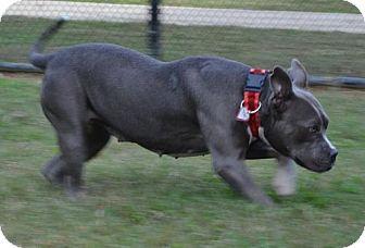 Chattanooga, TN English Bulldog Mix. Meet Aquamarine, a