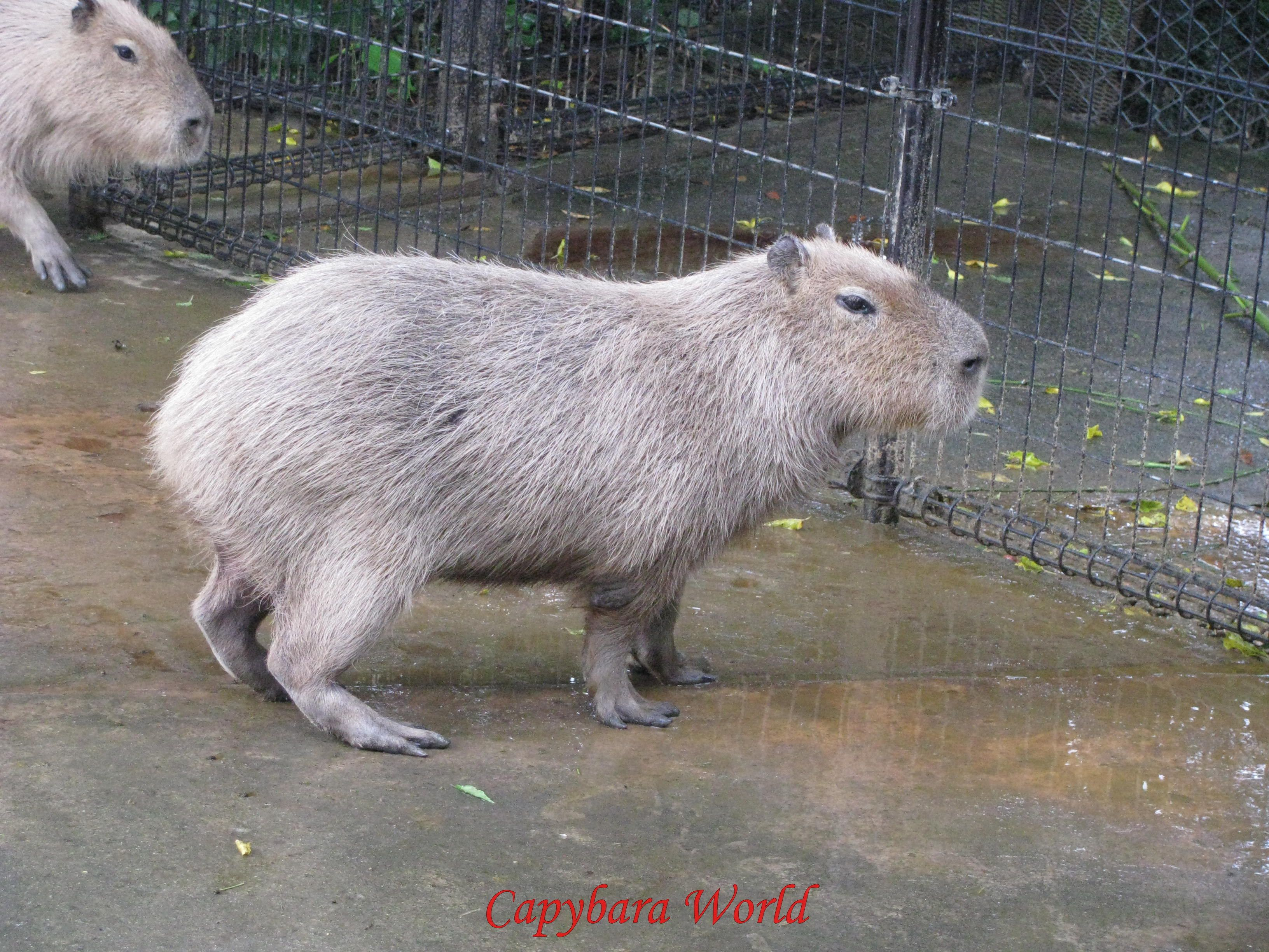 Image result for capybara standing | Moo | Pinterest