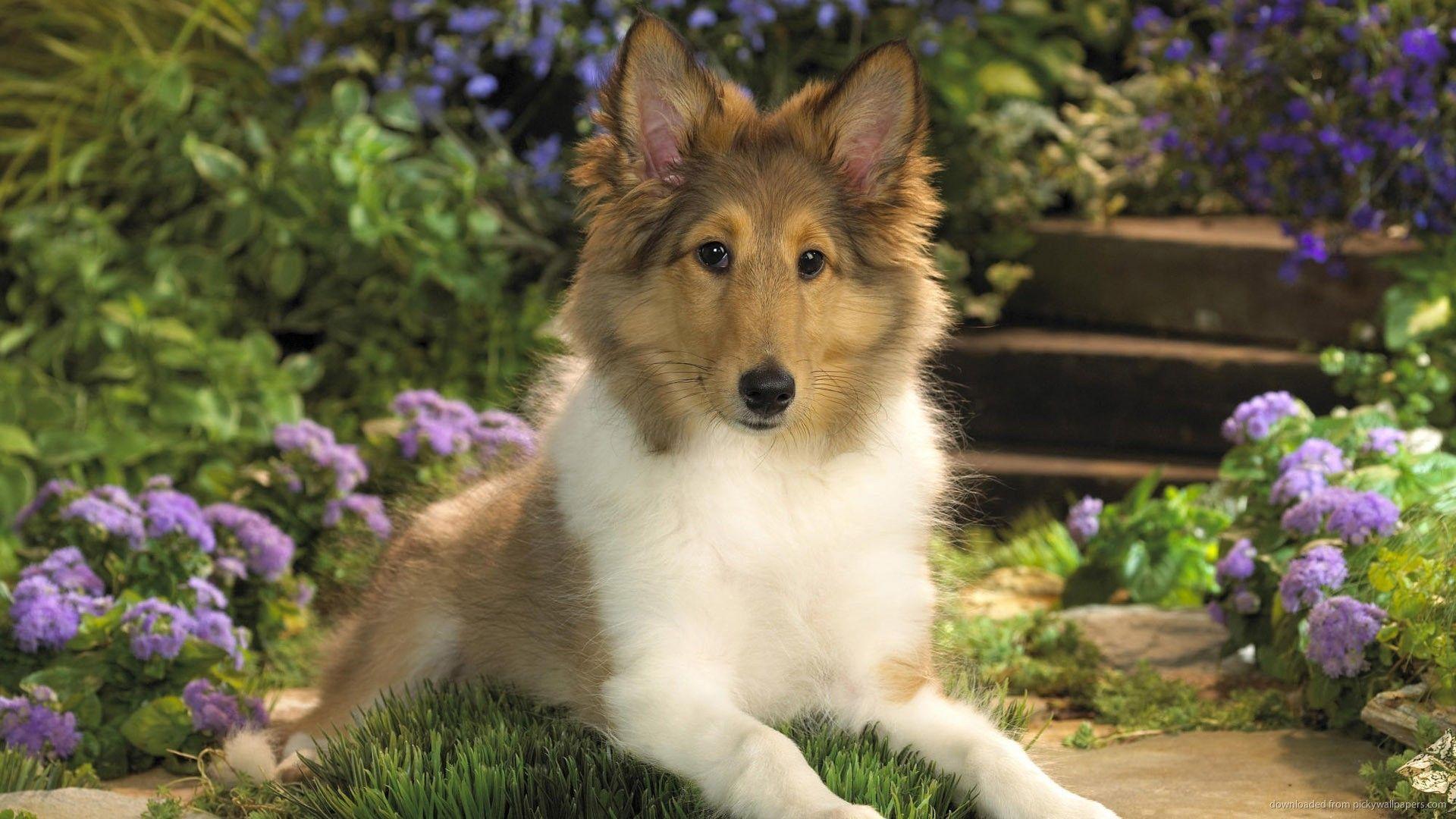 Shetland Sheepdog Wallpaper Sheltie Puppy Sheltie Puppies For Sale Sheltie Dogs