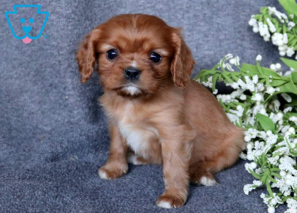 Paige Cavalier King Charles Spaniel Puppy For Sale Keystone Puppies King Charles Cavalier Spaniel Puppy Spaniel Puppies For Sale Cute Baby Puppies