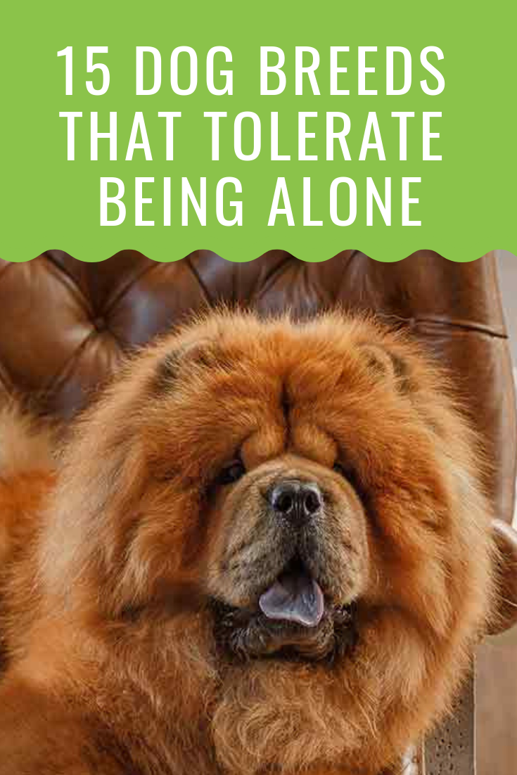 20 Dogs That Can Be Left Alone Dog Breeds Dogs 15 Dogs