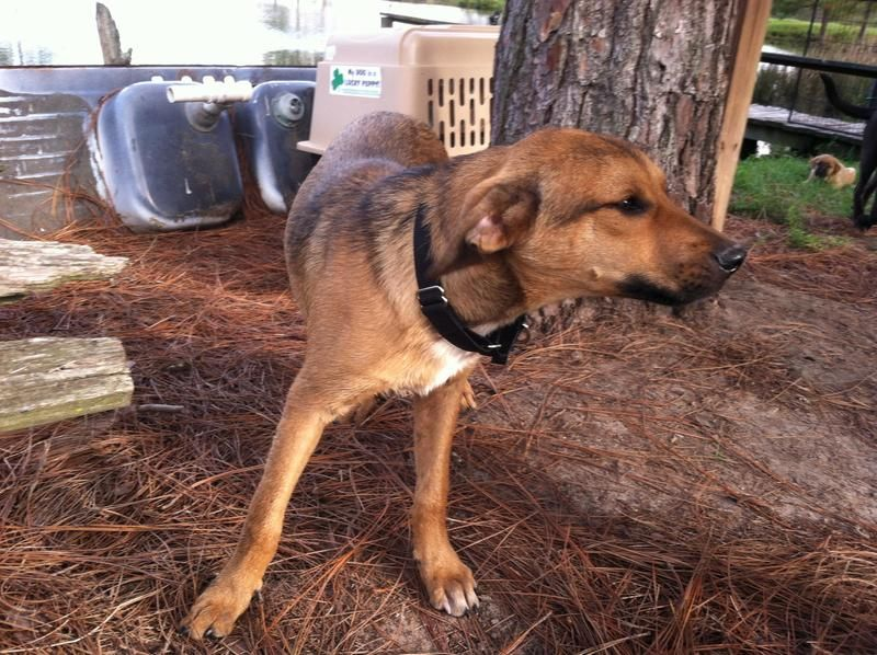 This is Luke, a medium size happy boy.  He and his sister are here at rescue waiting for a home of their own.  He behaves well in the house and uses the doggie door to go in and out.  He lives here with about 40 other dogs and a few house cats and...
