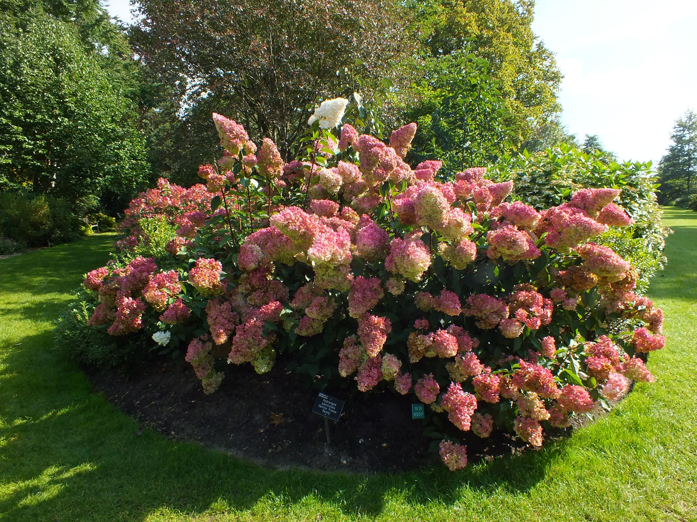 hydrangea paniculata vanille fraise hydrangea paniculata hydrangea hydrangea paniculata. Black Bedroom Furniture Sets. Home Design Ideas