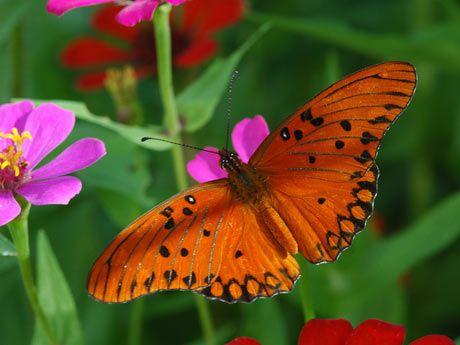 mariposa roja de lunares, mariposa flamenca