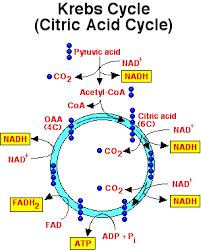 image result for krebs cycle diagram easy medical anatomy, biochemistry,  microbiology, studying,