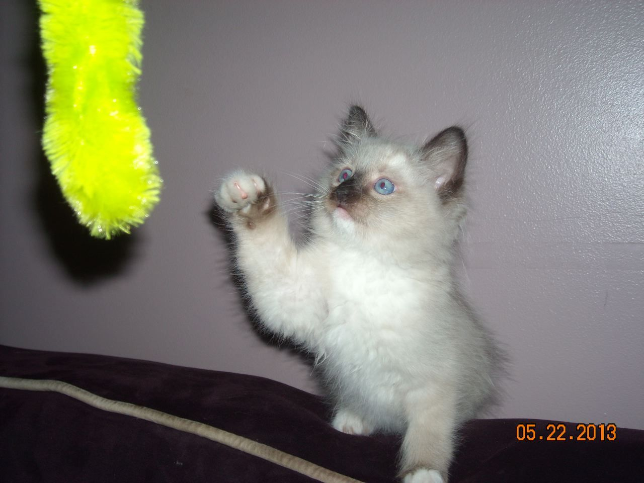 We are a Ragdoll cattery in Wisconsin that sells cats and kittens ...