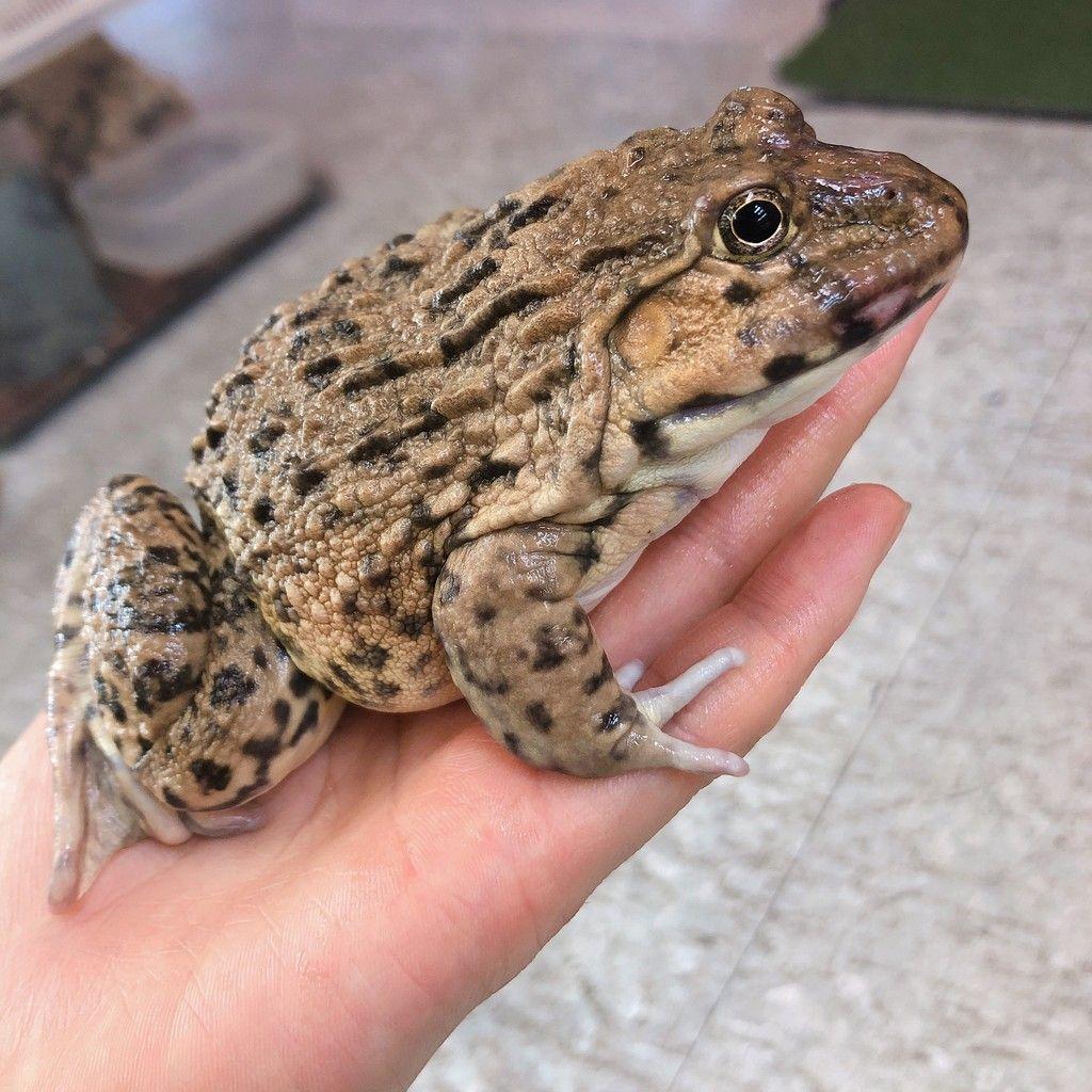 トラフガエル 体長 12cm 分布 台湾 中国南部 カエル 画像 イモリ 両生類
