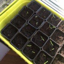 Tomatspirerne kigger frem midt i februar