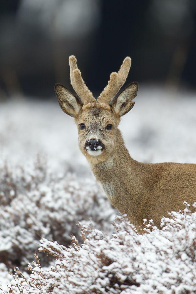 """""""Winter Roe Deer.""""                                          (By: René Visser.)"""