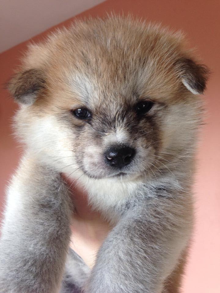 Kennel Club Registered Japanese Akita Inu Puppies Akita Inu Puppy Japanese Akita Akita Puppies