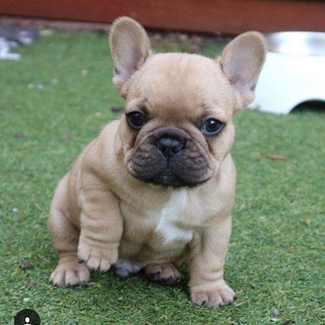 Que Precioso Franzosische Bulldoge Welpe Frenchie Welpen