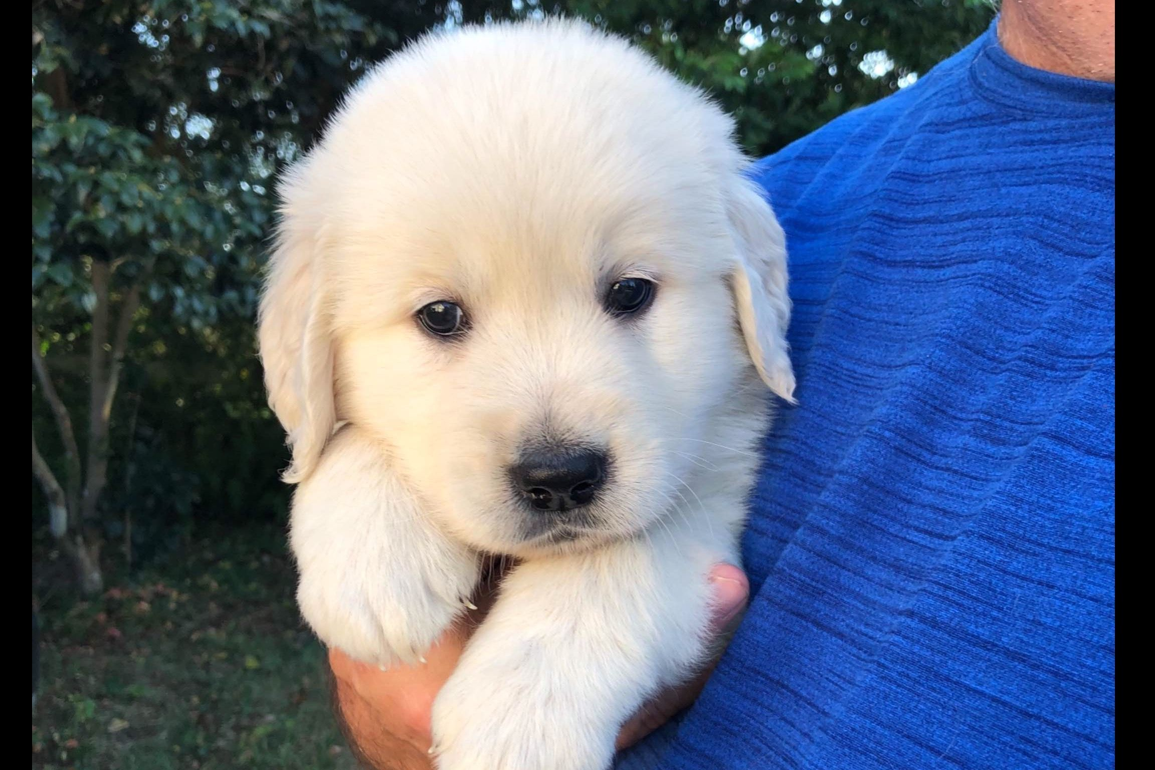 Golden Treasures Kennel Has Golden Retriever Puppies For Sale In Pensacola Fl On Akc Puppyfinder Golden Retriever Golden Puppies Puppies