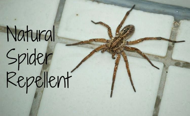 Natural spider repellent that works in any climate or
