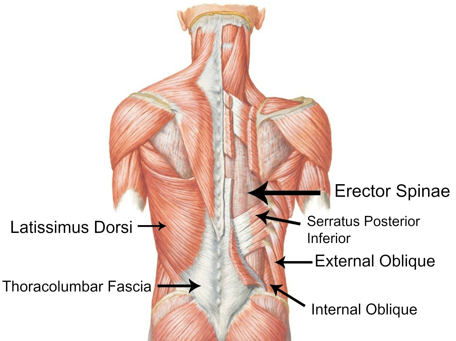 Lower back muscle chart low back muscles diagram lower back pain