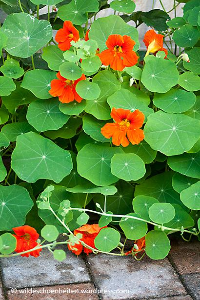 Multitalent kapuzinerkresse dekorativ lecker gesund und heilsam garten - Rankende zimmerpflanzen ...