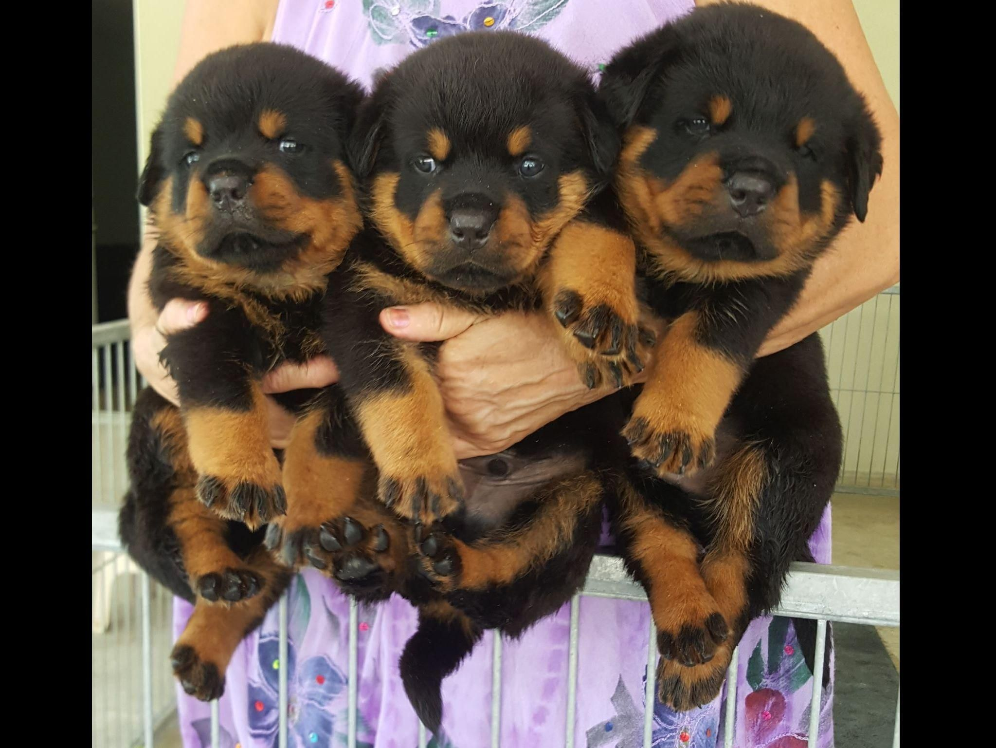 Rottweiler Puppies For Sale They So Cute Puppy Gifts Pinterest