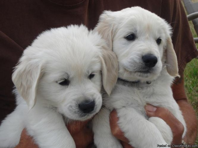 The Best Breed Of Dogs In The Entire World English Cream Golden