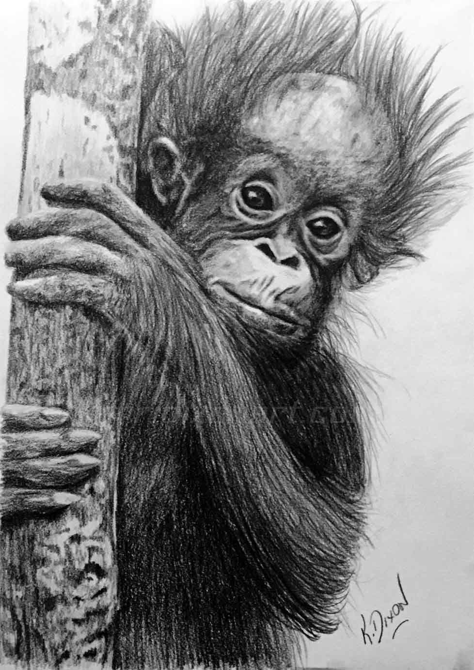 Uncategorized Orangutan Drawing baby orangutan in graphite pencil drawing orango tango fundraiser fundraiser