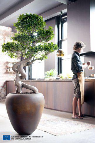 Ficus Ginseng ist Zimmerpflanze des Monats Juli