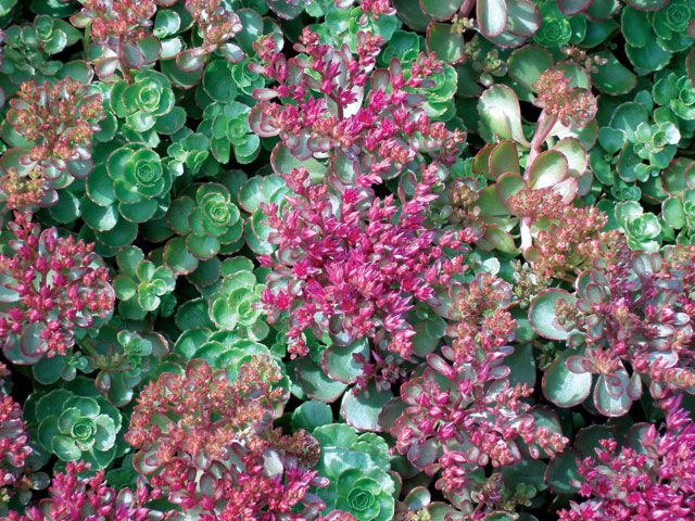 Sedum spurium dragons blood evergreen foliage with reddish sedum spurium dragons blood evergreen foliage with reddish margins turns completely red by autumn flowers in shades of pink to deep red mightylinksfo Gallery