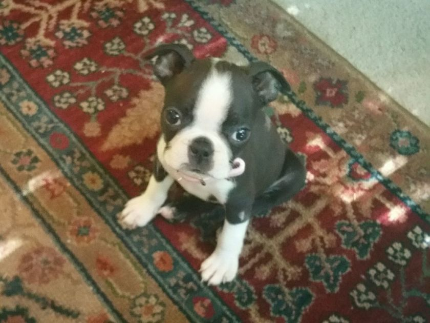 Dog Gone Problems My Boston Terrier Puppy Won T Stop Chewing My Rugs And Legs Boston Terrier Terrier Boston Terrier Puppy