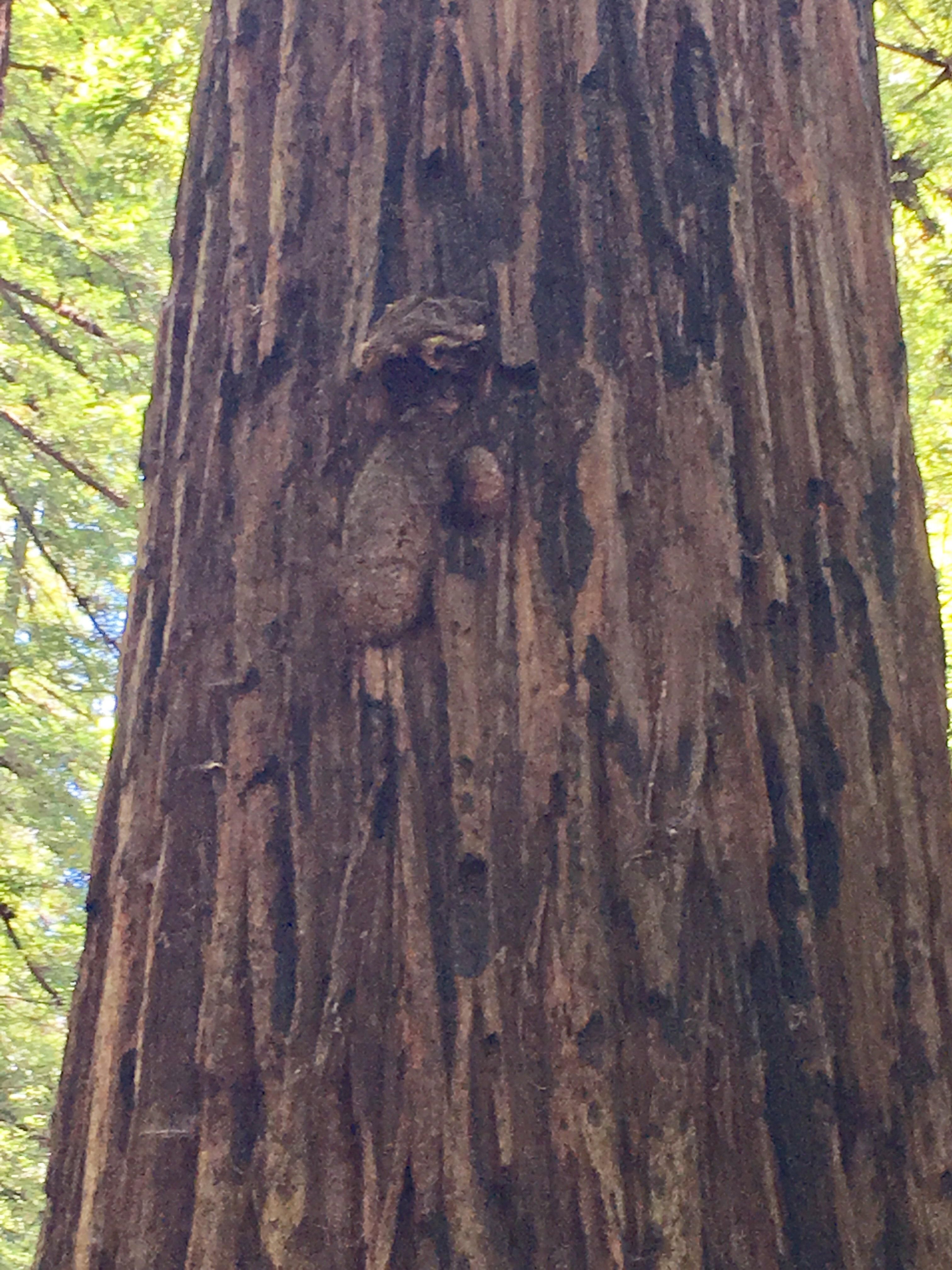 The Colonel Armstrong redwood tree in CA has a giant four foot flaccid penis about 20 feet up its 308 foot trunk.