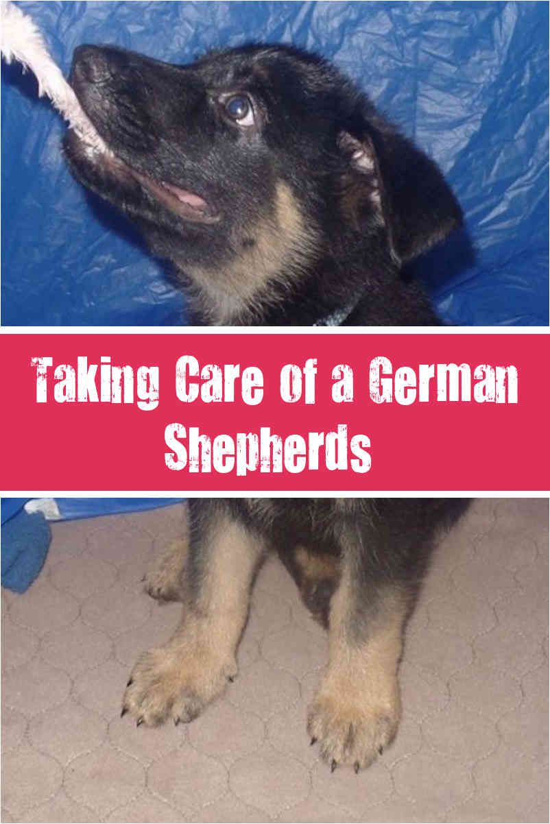 The Characteristics Of A German Shepherd Puppy And Dog German