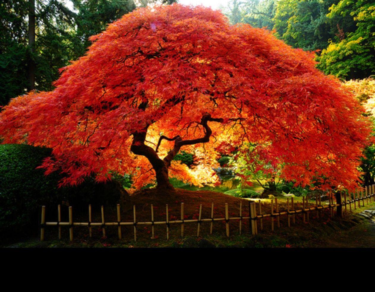 Weeping Japanase Maple Autumn Japan Japanese Maple Tree