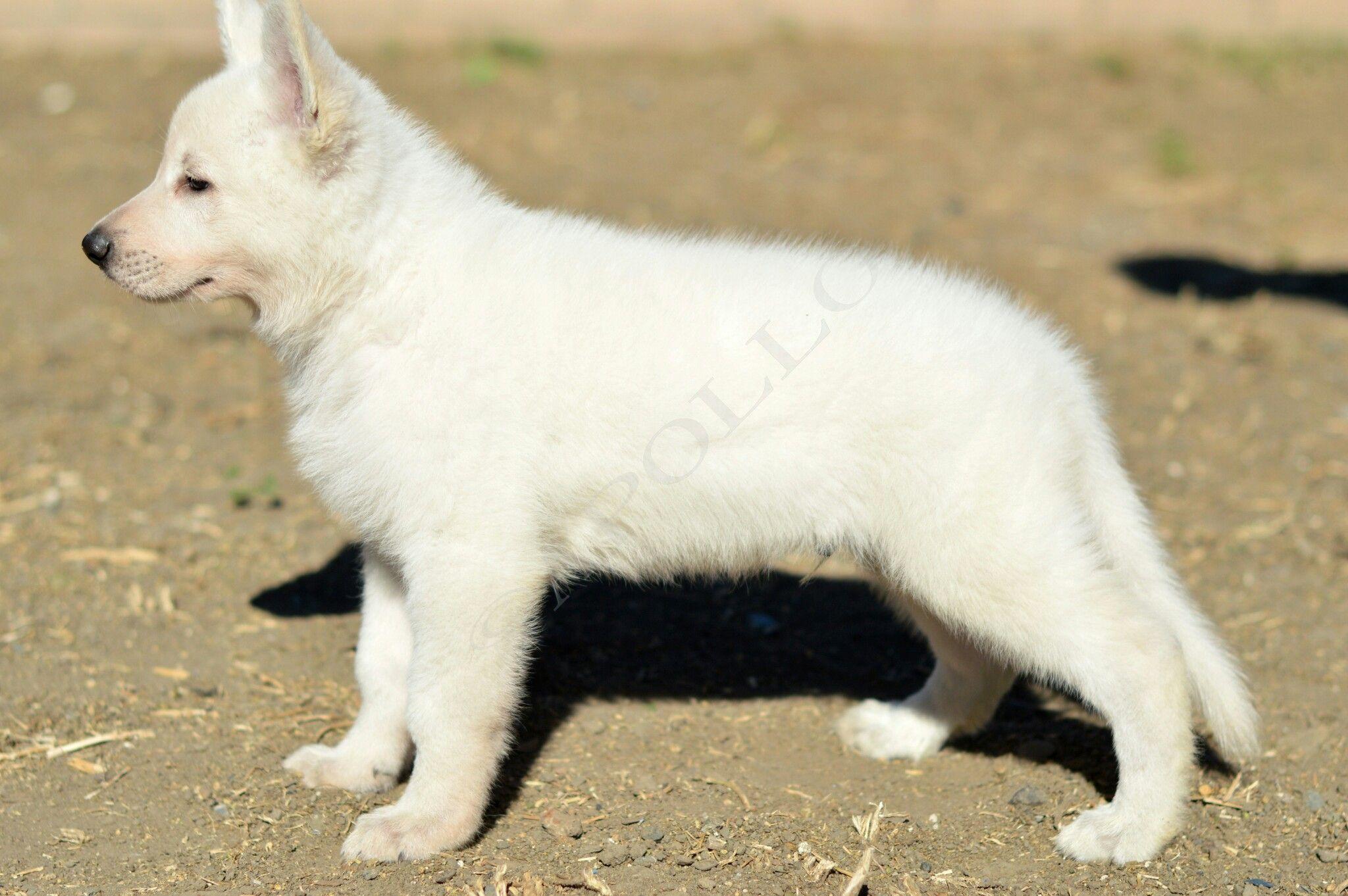 White German Shepherd Puppy Olympusgermanshepherddogs German