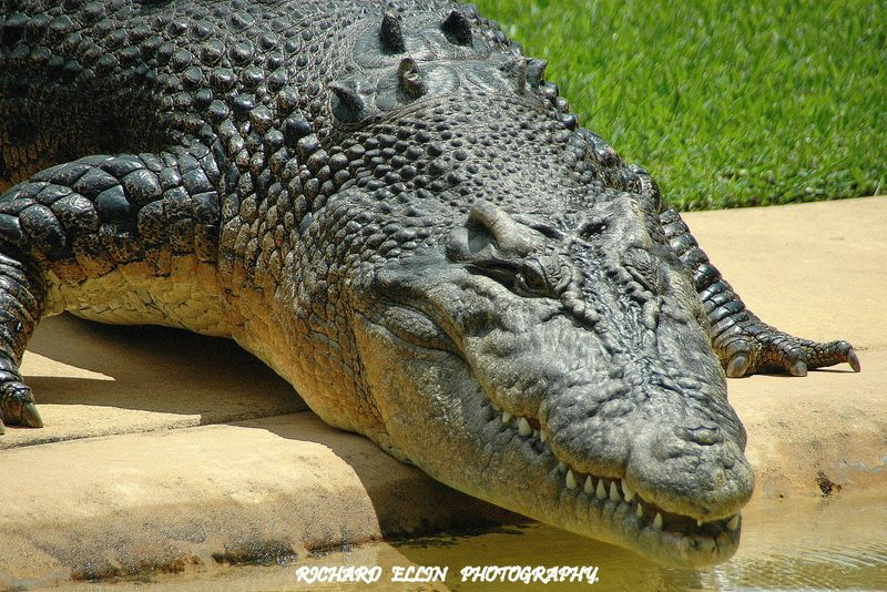 """Graham"" a saltwater croc in Australia Zoo. Animals"