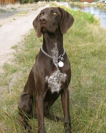 A Brown With White German Shorthaired Pointer Is Sitting In A Grass Path Near A Body Of Water German Shorthaired Pointer Dog Pointer Dog Pointer Puppies
