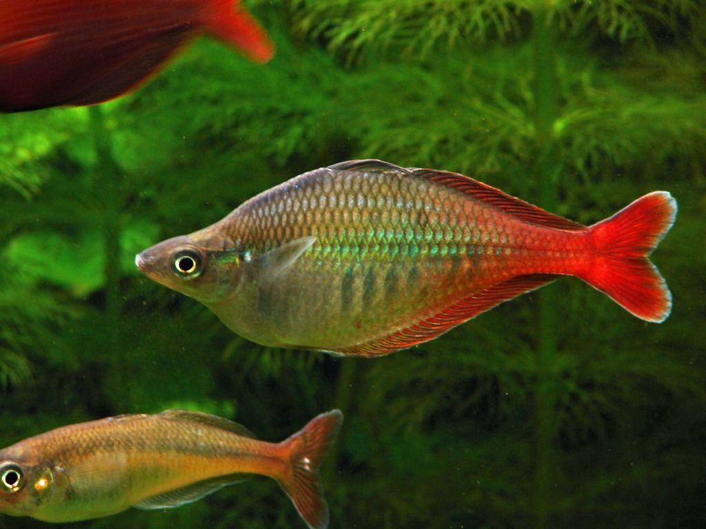 Freshwater fish in australia - Chilatherina Bleheri Bulgariaguinearainbow Fishaustraliafreshwater